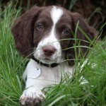 Follow my leader: How to keep your gundog puppy close
