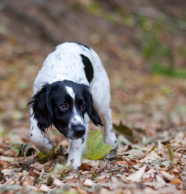 quartering for working spaniels