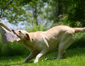 should you play tug with your gundog?