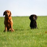 Getting a second gundog