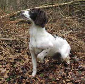 Heelwork versus hunting for spaniels