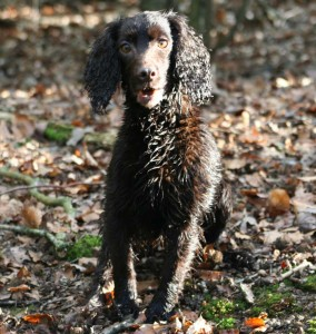 Gundog lessons from professional trainer