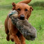 Building and maintaining retrieving desire in your gundog