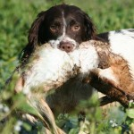Health testing working spaniels