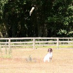 The importance of steadiness to fall for retrievers