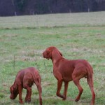 The Hungarian Vizsla