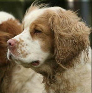 Working Clumber Spaniel