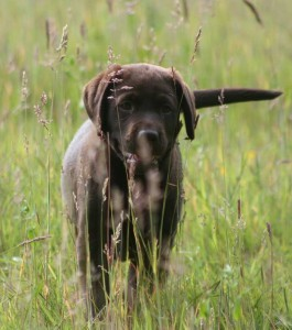 puppy-socialisation-begins-265x300
