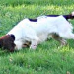 Should 'beating' spaniels be taught to retrieve?