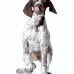 Choosing your gundog 1: the different categories of gundog work