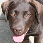 Clicker training for gundog puppies