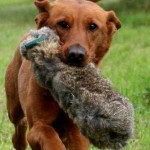 Gunshy dog: can it ever be cured?