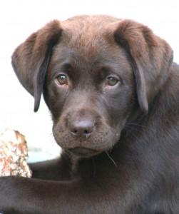 My chocolate Labrador