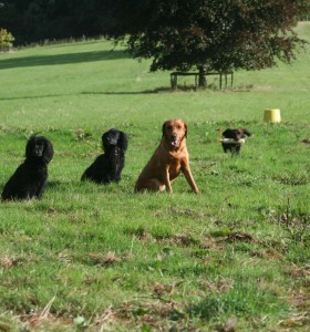 sprinting for gundogs