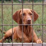 Should you kennel your gundog?