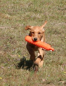 Fox red labrador puppy retrieving