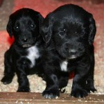 Why do we dock our working gundog puppies?