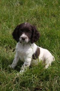 puppy guidelines for working gun dogs