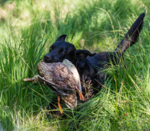blind retrieving for gun dogs