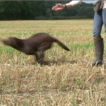 The outrun: lining your gundog back