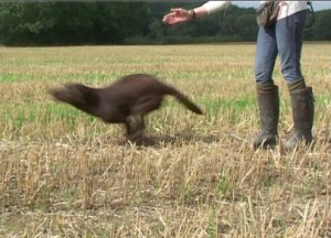 lining your gundog back