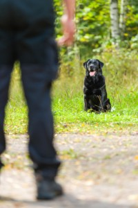 building the stay gundog training