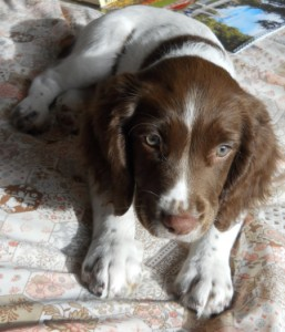 getting your first gun dog