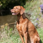 Methods and principles in gundog training