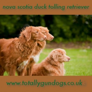 three rare breed nova scotia duck tolling retrievers