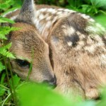New kid on the block: it's time for roe deer to give birth