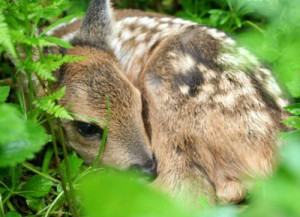 baby roe deer kid