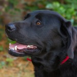 Gundog training: Grade One Milestones