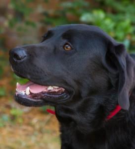 close up of a black labradors head