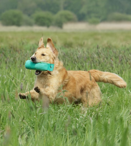 gundog retrieving drills - precautions