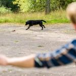 Gundog training: Grade 2 – casting left and right