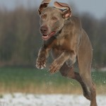 Gundog resolutions and a Happy New Year