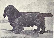 Sussex spaniel 1915