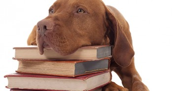 ginger color vizsla resting head on a pile of books isolated on white backgroud