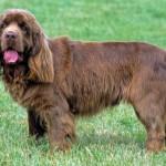 Gundog breeds: The Sussex Spaniel