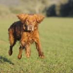 Hip Dysplasia and the Working Gundog