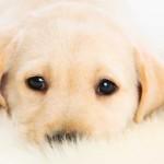 Choosing a gundog puppy : which breed