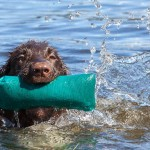 Retrieving from beginner to advanced: making progress with your gundog