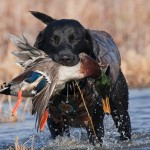 Gundog Insurance from Bought By Many
