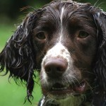 Spaniels and Why Not to Walk Them